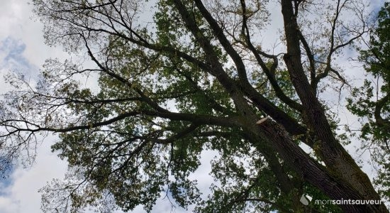 Les ormes d'Amérique menacés dans Saint-Sauveur - Myriam Nickner-Hudon