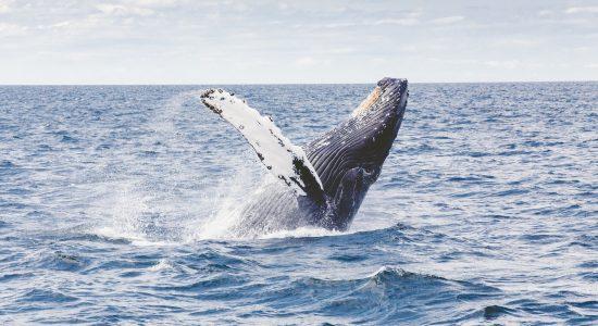 L'orchestre baleinique