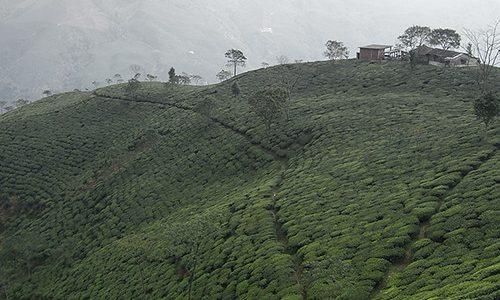 Inde – Darjeeling et thés noirs